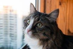 Le chat regarde la fenêtre Beau chat se reposant sur un rebord de fenêtre et regardant à la fenêtre Image stock