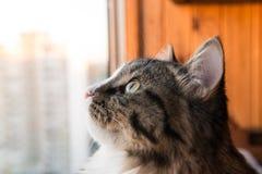 Le chat regarde la fenêtre Beau chat se reposant sur un rebord de fenêtre et regardant à la fenêtre Photo libre de droits