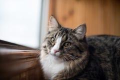 Le chat regarde la fenêtre Beau chat se reposant sur un rebord de fenêtre et regardant à la fenêtre Photographie stock libre de droits