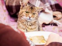 Le chat regarde tristement la nourriture consommée par le mistress_ photographie stock libre de droits