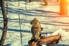 Le chat repose sur un identifiez-vous la forêt d'hiver photos libres de droits