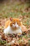Le chat rouge étonnant a reposé se situer dans les bois Photos stock