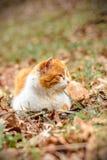 Le chat rouge étonnant a reposé se situer dans les bois Images libres de droits