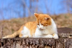 Le chat rouge étonnant a reposé se situer dans les bois photo libre de droits