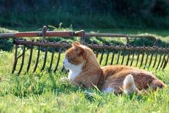 Le chat rouge Photo libre de droits