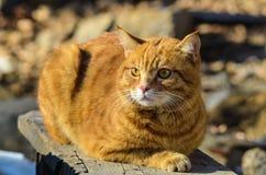 Le chat rouge dans le sauvage est un grand chasseur et un ami un grand beau fort Photographie stock libre de droits