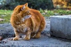 Le chat rouge de rue regarde soigneusement au côté photo libre de droits