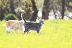 Le chat rouge est le chat gris dans le pré vert d'été Images libres de droits