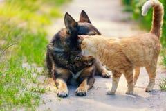 Le chat rouge frotte la tête contre le chien Photo libre de droits