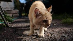 Le chat rouge lèche et va à l'appareil-photo Chat de rue recherchant la nourriture extérieure banque de vidéos