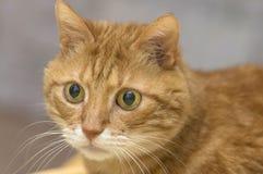 Le chat rouge pelucheux regarde l'appareil-photo avec de grands yeux verts Photographie stock