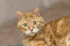 Le chat rouge pelucheux regarde l'appareil-photo avec le grand plan rapproché de yeux verts Photo stock