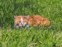 Le chat rouge se cache dans l'herbe Photo libre de droits