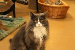 Le chat sérieux photos libres de droits