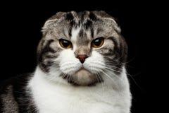 Le chat sérieux de l'écossais plient la race sur le fond noir d'isolement images libres de droits