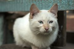 Le chat sans abri blanc avec des yeux de turquoise se repose sur le banc et regarde en avant Photo libre de droits