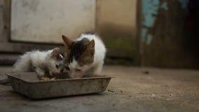 Le chat sans abri et le chaton sales et malades mangent d'une cuvette en métal Le problème des animaux sans abri en Europe de l'E banque de vidéos