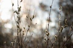 Le chat-saule de ressort fleurit au soleil avec des gouttes de l'eau Photographie stock libre de droits