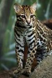 Le chat sauvage Photos libres de droits