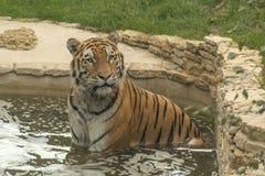 Le chat sauvage a appelé le tigre prend un bain images stock
