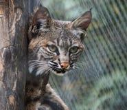 Le chat sauvage asiatique est une sous-espèce sauvage qui se produit Photographie stock libre de droits