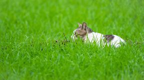 Le chat sauvage attendant dans l'herbe a couvert le champ photographie stock