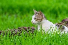 Le chat sauvage attendant dans l'herbe a couvert le champ photo libre de droits