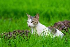 Le chat sauvage attendant dans l'herbe a couvert le champ image libre de droits