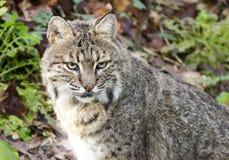 Le chat sauvage captif, soutiennent le zoo creux, Athènes la Géorgie Etats-Unis images stock
