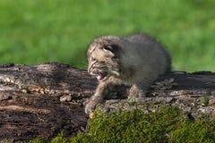 Le chat sauvage de bébé (rufus de Lynx) pleure sur le rondin Photo stock