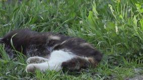 Le chat sauvage de yard se trouve sur l'herbe verte clips vidéos