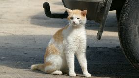 Le chat sauvage frotte contre la voiture, visant la vidéo animée lente banque de vidéos