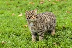 Le chat sauvage ou le tigre écossais de montagnes Image stock