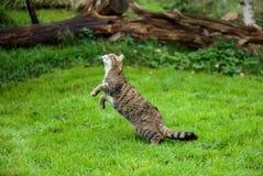 Le chat sauvage ou le tigre écossais de montagnes sautant pour saisir la proie Photos stock