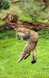 Le chat sauvage ou le tigre écossais de montagnes sautant pour saisir la proie Image libre de droits