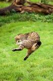 Le chat sauvage ou le tigre écossais de montagnes sautant pour saisir la proie Images stock