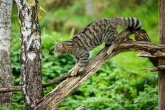 Le chat sauvage ou le tigre écossais de montagnes vers le haut d'un arbre Photo stock