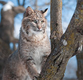Le chat sauvage (rufus de Lynx) grimpe à l'arbre Photo libre de droits
