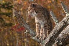 Le chat sauvage (rufus de Lynx) lèche le profil de côtelettes Photo libre de droits