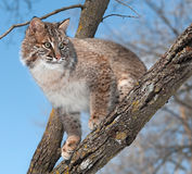 Le chat sauvage (rufus de Lynx) regarde de la branche d'arbre Photos libres de droits