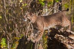 Le chat sauvage (rufus de Lynx) s'étend entre le tronçon et l'arbre Image libre de droits