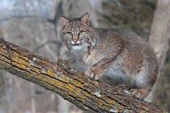 Le chat sauvage (rufus de Lynx) se tapit sur la branche regardant à gauche Image libre de droits