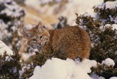 Le chat sauvage sur la neige a couvert le cèdre Photographie stock