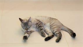 Le chat se lèche (les lavages) clips vidéos