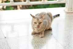 Le chat se lèchent image libre de droits