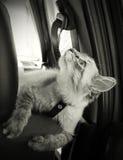 Le chat se repose dans le véhicule et regarde vers le haut Photographie stock