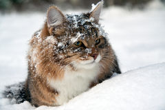 Le chat se repose sur la neige Photo libre de droits