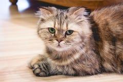 Le chat se reposent sur le plancher Images stock