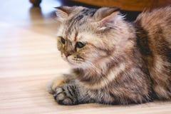 Le chat se reposent sur le plancher Image libre de droits