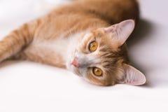 Le chat semble en avant et semble mignon Photographie stock libre de droits